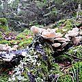 Pleurotes en forme d'huîtres, pleurotus oestreatus, Cagoutas...