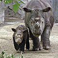 Le dernier rhinocéros de Sumatra « américain » va retourner en Indonésie