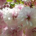 Les cerisiers sont en fleurs...doubles