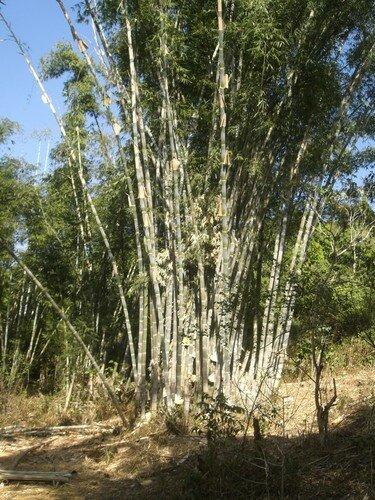 Bambous geants