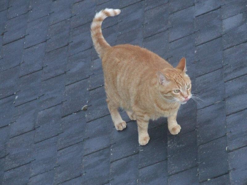 Domino se baladant sur le toit
