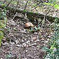 Cèpe d'été épanoui près du squelette d'un sapin...
