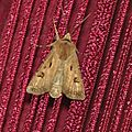 Agrotis exclamationis ( point d'exclamation )
