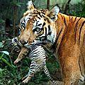 tigre fetes des meres6786883_2005307065_n