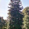 Séquoias toujours verts, Mont St Aignant, septembre 2004