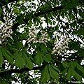 Marronnier (aesculus hippocastanum)