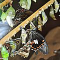 Eclosion-Papilio-memnon