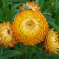 2008 08 25 Des fleurs d'Immortelle