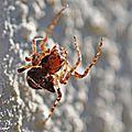 Epeire dromadaire • Gibbaranea bituberculata • F. des Araneidae