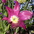 tulipes_careme-3 (1)