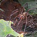 Tégénaire atrica (Eratigena atrica) • famille des Agelenidae