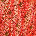 cache-coeur rose chiné, détail