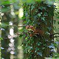 Ecureuil roux - Sciurus vulgaris