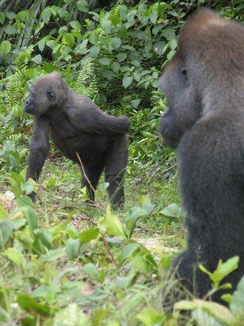 Gorilles des plaine
