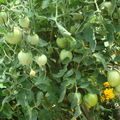 2008 08 02 Mes tomates big stricke hybride F1 sous serre