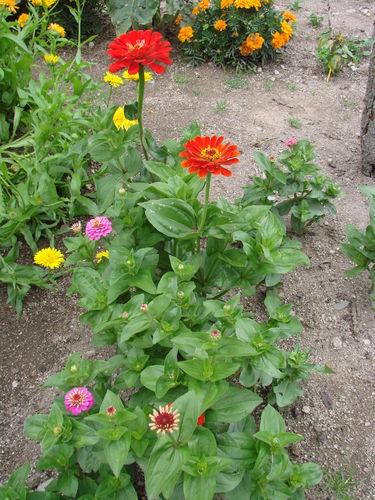 2008 08 19 Mes zinnias