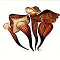60 Collybia fusipes