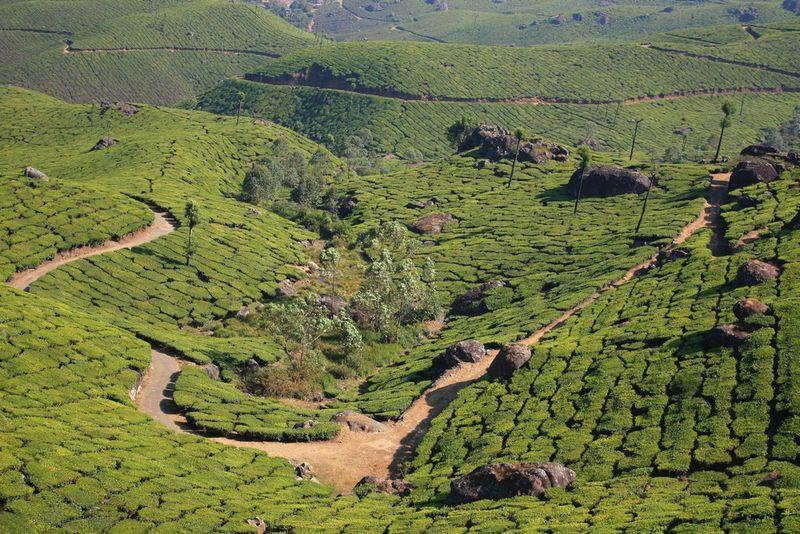 Chemin sinueux au milieu des champs de thé