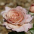 La rose de <b>cornouaille</b>