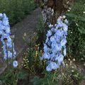 2009 06 30 Delphinium bleu en fleur (2)