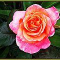 Rose orange 120515