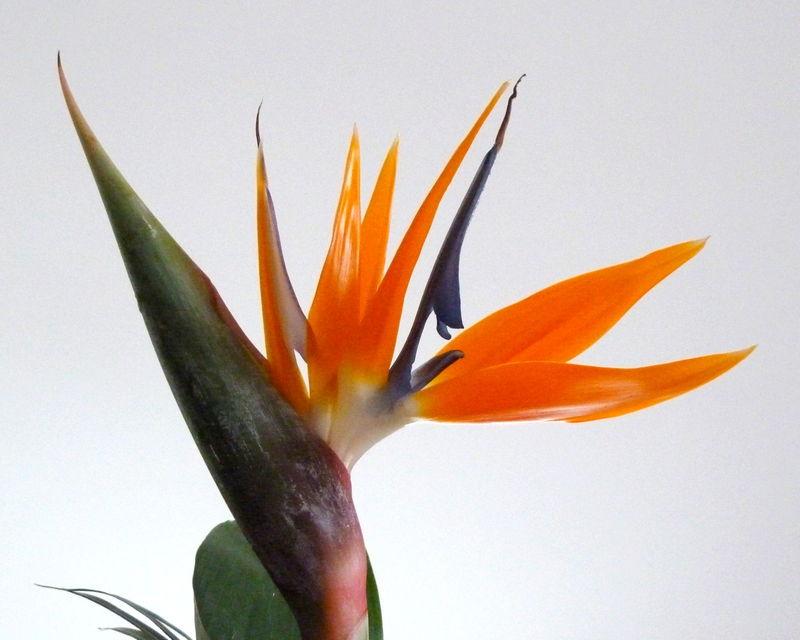 oiseau de paradis (strelitzia reginae)
