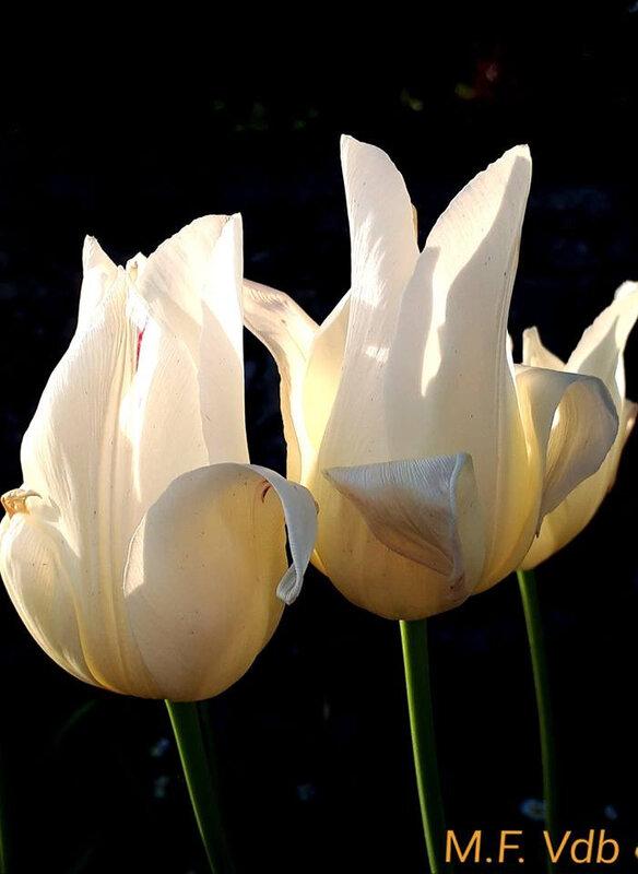 tulipe ensoleillée