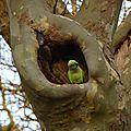 Perruche dans un arbre
