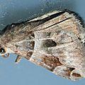 Caranilla angularis