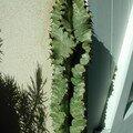 Euphorbia erythrea variegata