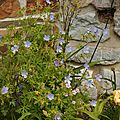 les geranium juin 2015