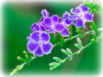fleur faux forsthia