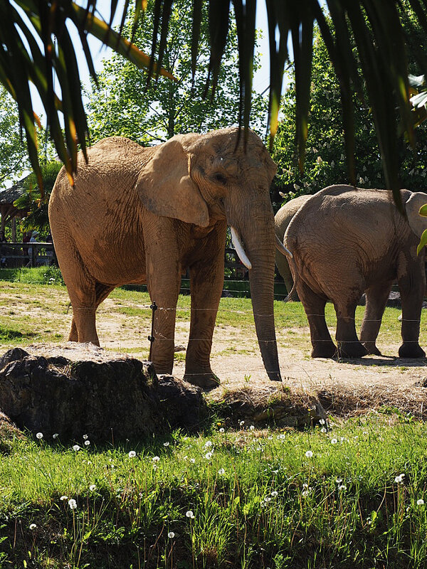 zoo-beauval-animaux-elephants-19