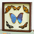 Collection ... <b>PAPILLONS</b> naturalisés * 6 <b>papillons</b>