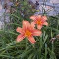 de belles et délicieuses hémérocalles dans le jardin de Bernard