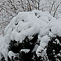 Arbre d'ornement couvert de neige...