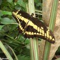 Papilio thoas • Papilionidae • Guyane