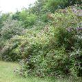 Buddleias, parc huvier