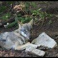 Zoo de Copenhague : le loup