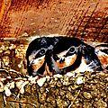 Des hirondelles dans leur nid n'est ce pas trognion avec leurs grands yeux :)) comment peut-on leur faire du mal !!!