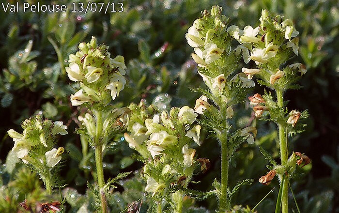 pedicularis tuberosa