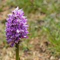 [<b>Drôme</b>] à la chasse aux orchidées sauvages
