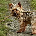 CANIDES - CHIEN - Canis Lupus - Yorkshire <b>Terrier</b> - Benjy