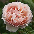 La rose Pr