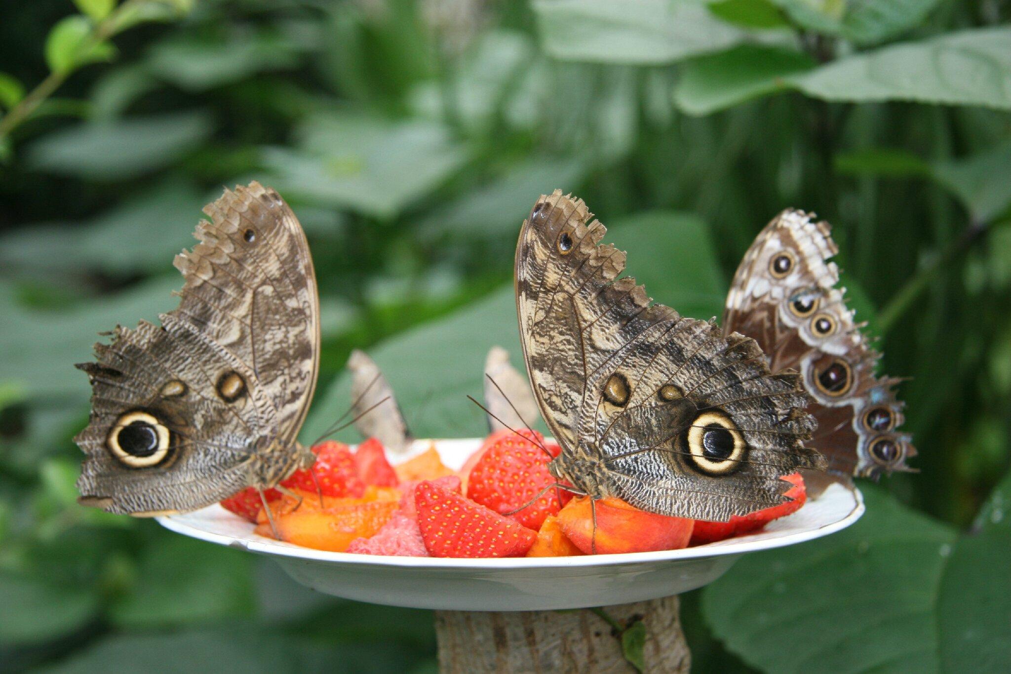 Le papillon hibou/ Owl butterfly