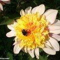 Le jardin des dahlias du parc floral de la source-orléans