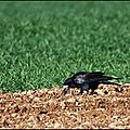 Corbeau freux (Corvus frugilegus)