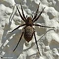 Araignée Pardosa amentata