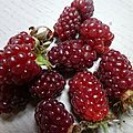 TAYBERRY OU MUROISES www.passionpotager.canalblog.com