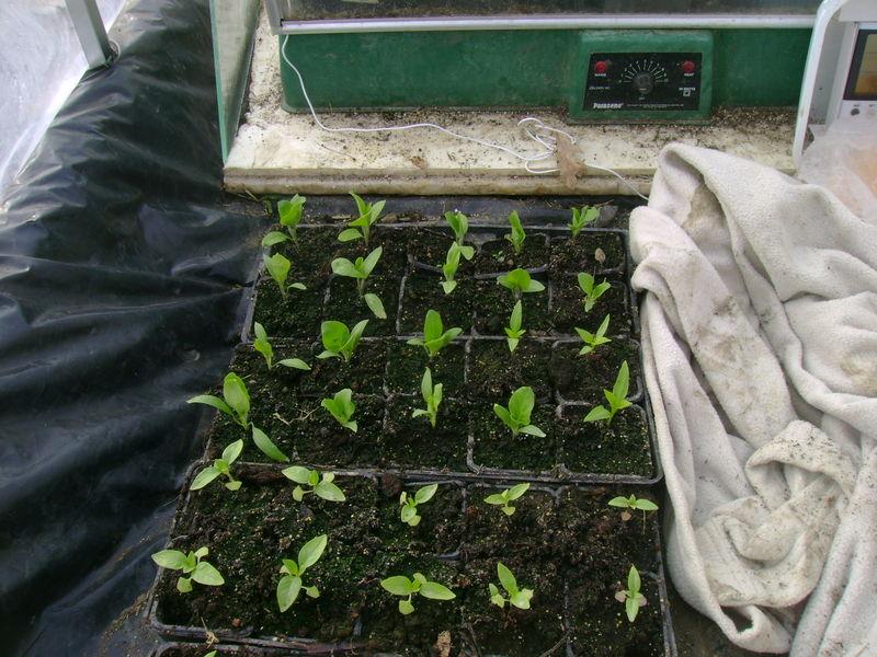 plants d 39 aubergines de poivrons et de piments le jardin de salom. Black Bedroom Furniture Sets. Home Design Ideas
